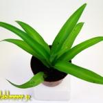 clorophytum.comusum.lemon.a