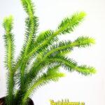 lycopodium.squarrosum2